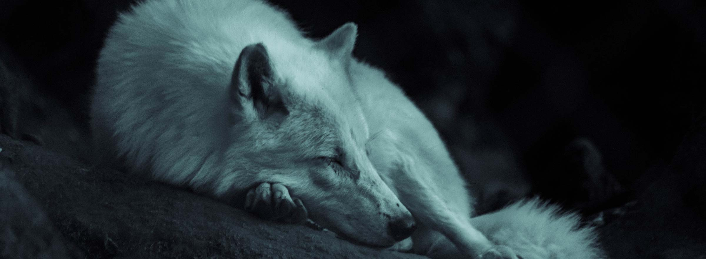 a wolf sleeping peacefully, representing The Wild Animal Sanctuary's nonprofit digital storytelling