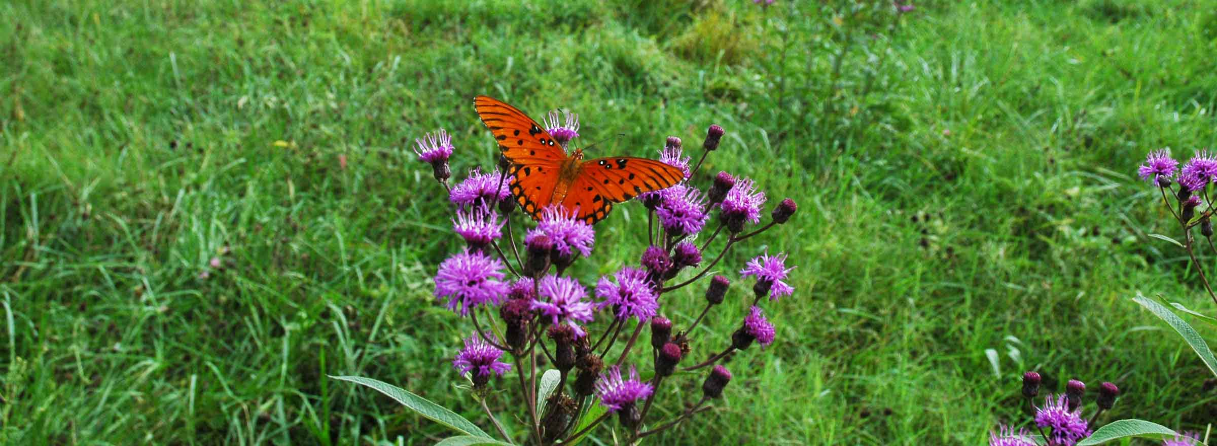 a butterfly alights on a plant on land that the nonprofit Mainspring has protected