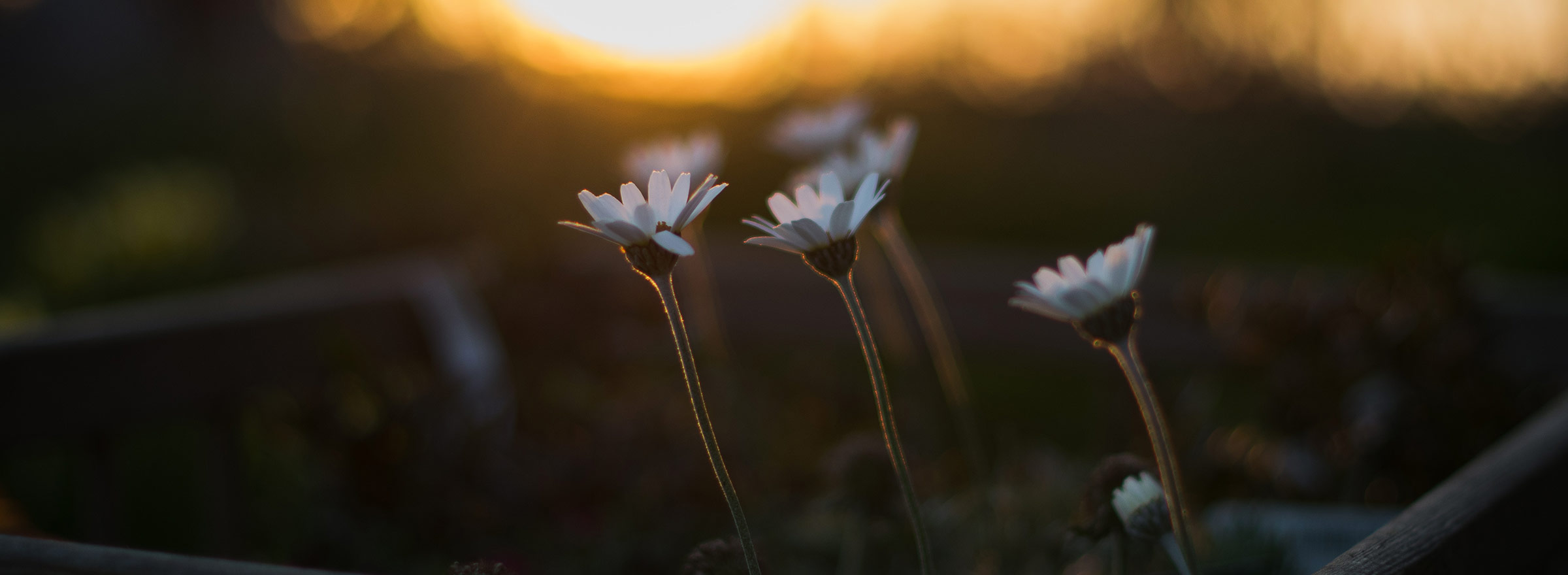 daisies growing toward sunlight, symbolizing returns on investing time and money on social media for nonprofits