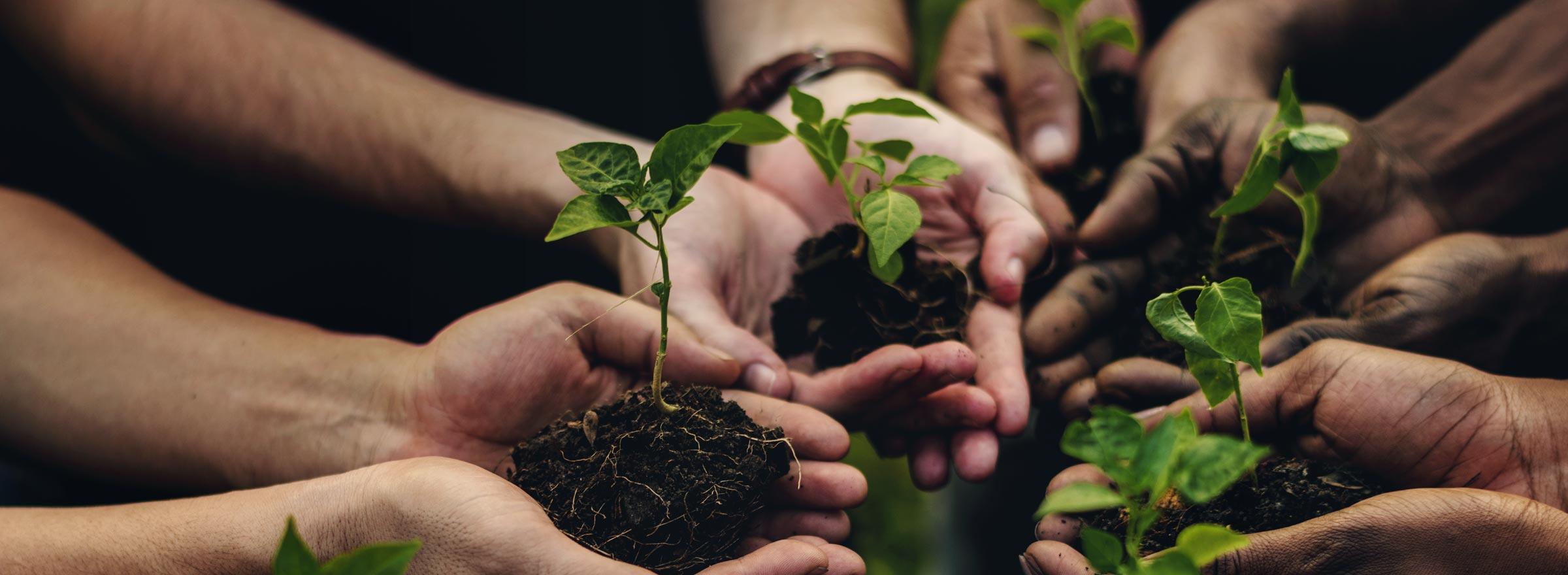 Multiple hands holding seedlings in balls of dirt