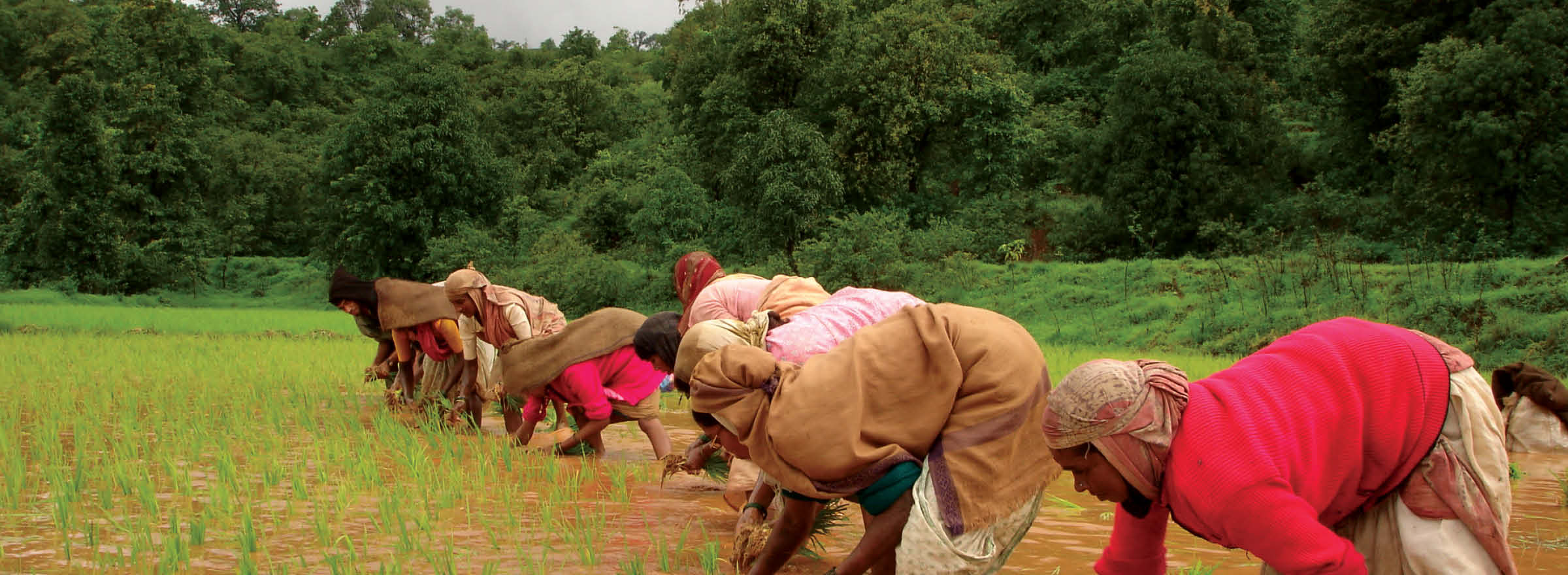 Farmers in India working in a flooded rice paddy