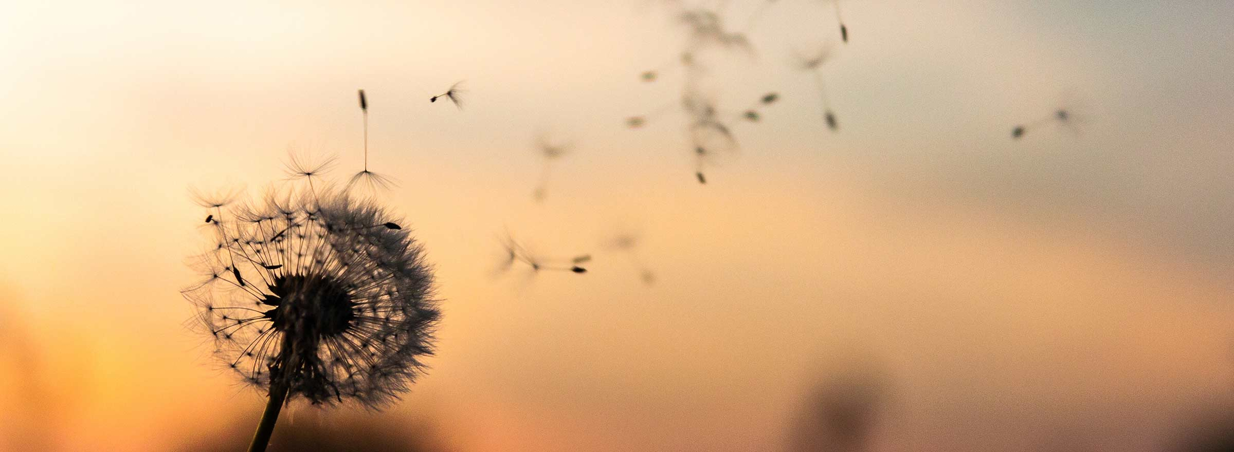 dandelion seed head with the seeds floating away